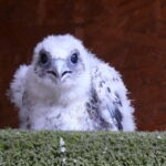 A Lanner chick facing the camera